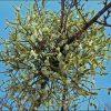 Лекарственные растения. Барбарис, Одуванчик, Омела, Первоцвет, Пастушья сумка. фото - gxx 100x100