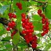 Лекарственные растения. Корианд, Коровяк скипетровидный, Клевер луговой. фото - gz 100x100