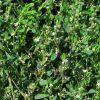 Лекарственные растения. Василек синий, Вьюнок полевой, Спорыш. фото - hhk 100x100