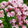 Лекарственные растения. Артишок посевной, Валериана, Болиголов пятнистый. фото - hhn 100x100
