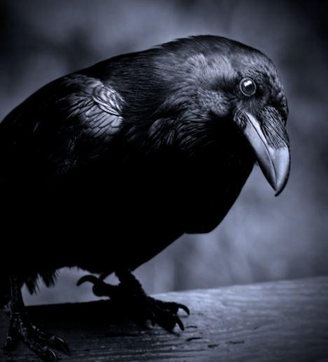 Птица Ворон.