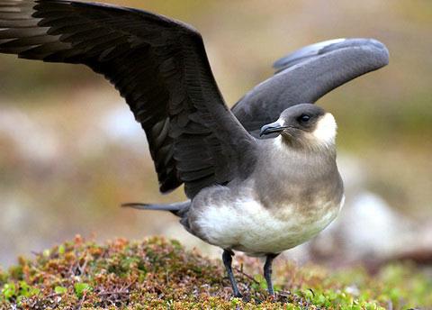 6940 Птицы Поморниковые.