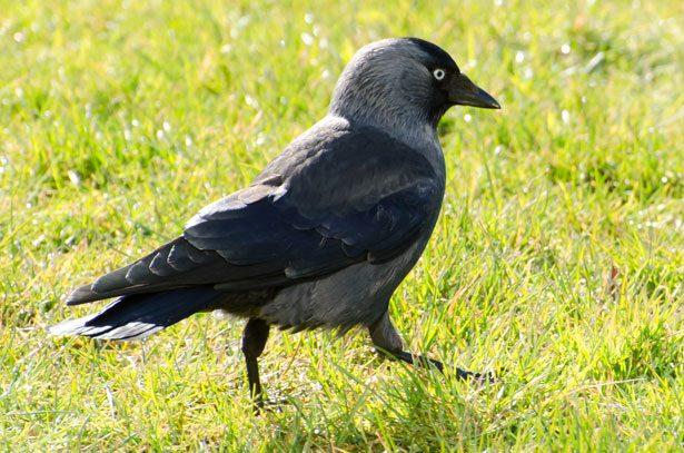 Птица Галка.