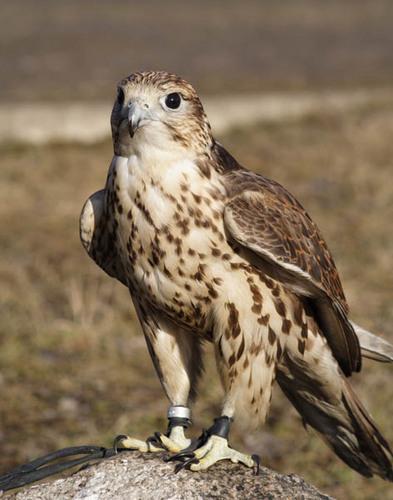 Птица Балобан.