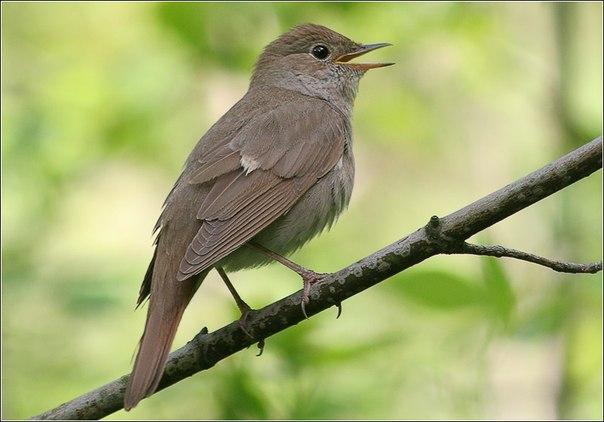 соловей птица пение слушать