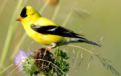 7108 Птица Чиж.