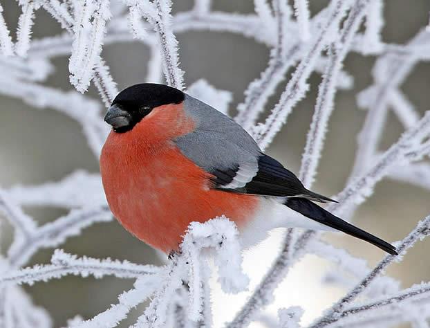Птица Снегирь.