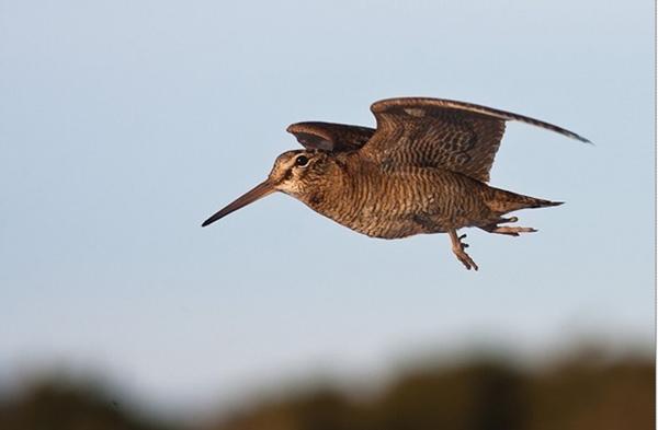 Птица Вальдшнеп.