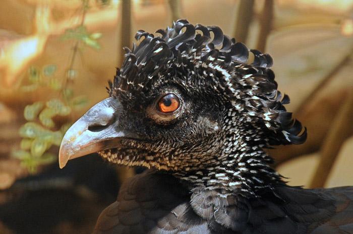 Птица Цесарка.