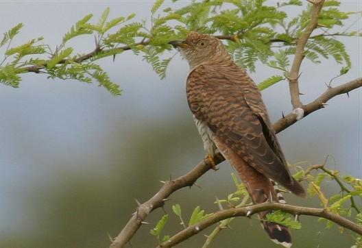 фото птицы кукушка