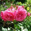 7516 Плетистые (вьющиеся) розы. Какие виды существуют ?
