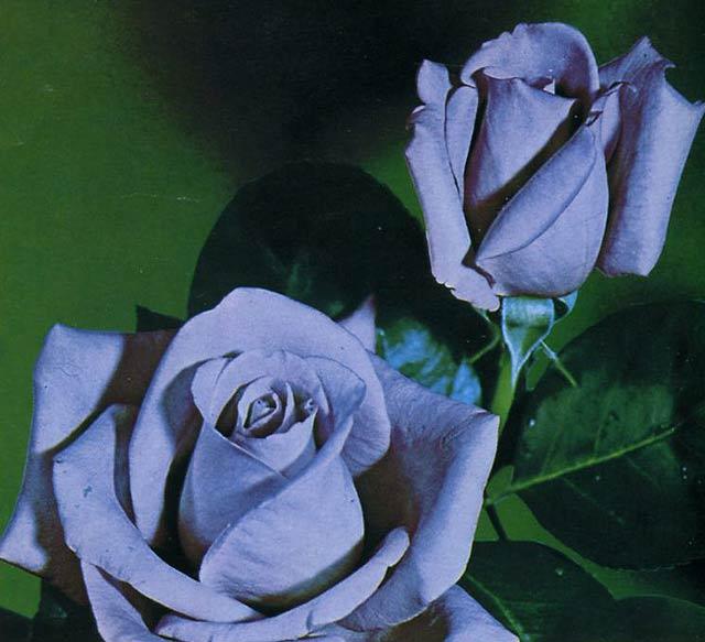 Чайно – гибридные розы. Какие виды существуют ?