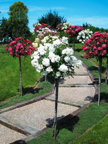 Посадка и укрытие штамбовых роз