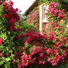 7596 Штамбовые розы. Какие виды существуют ?