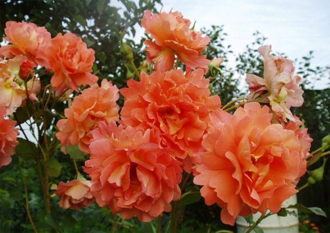 Парковые розы. Какие виды существуют ?