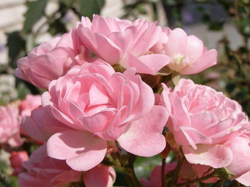 Почвопокровные розы. Какие виды существуют ?