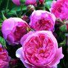7522 Плетистые (вьющиеся) розы. Какие виды существуют ?