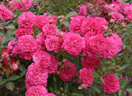 Выбор посадочного материала роз