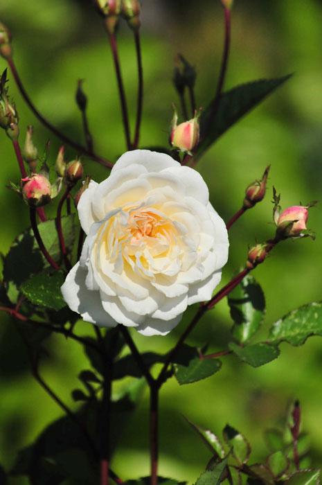 Патио розы. Какие виды существуют ?