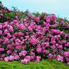 7593 Штамбовые розы. Какие виды существуют ?