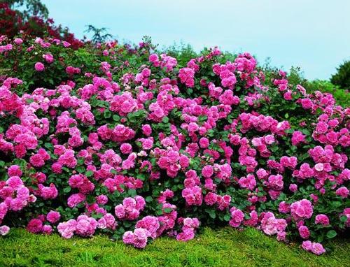 Выбор участка и сорта роз