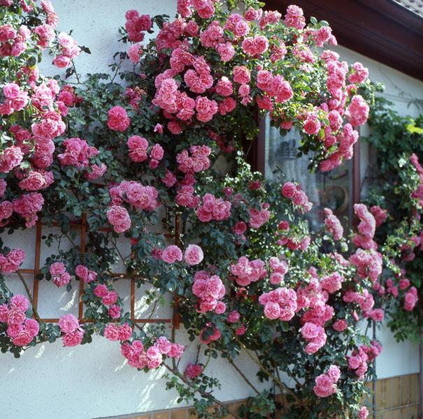 Укрытие и раскрытие роз