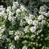 Тимьян - пряное почвопокровное растение фото - lhh 100x100