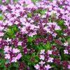 Тимьян - пряное почвопокровное растение фото - ljj 100x100