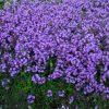 Тимьян - пряное почвопокровное растение фото - lkk 100x100