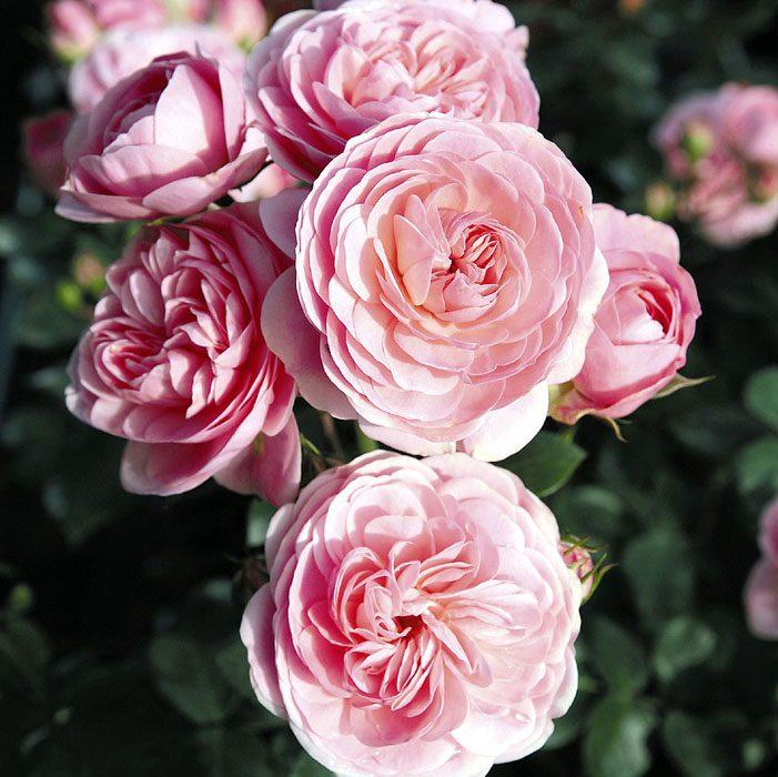 Heritage — очаровательная роза
