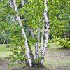 Дерево Береза — элегантны в любое время года