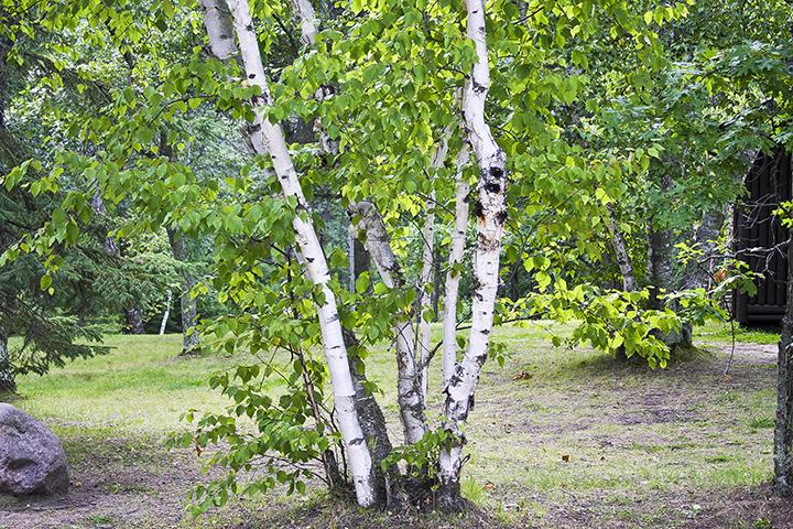 Дерево Береза – элегантны в любое время года
