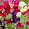 Горошек душистый - лиана из бабушкиного сада фото - v 100x100