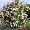 New Dawn красиво цветущая плетистая роза
