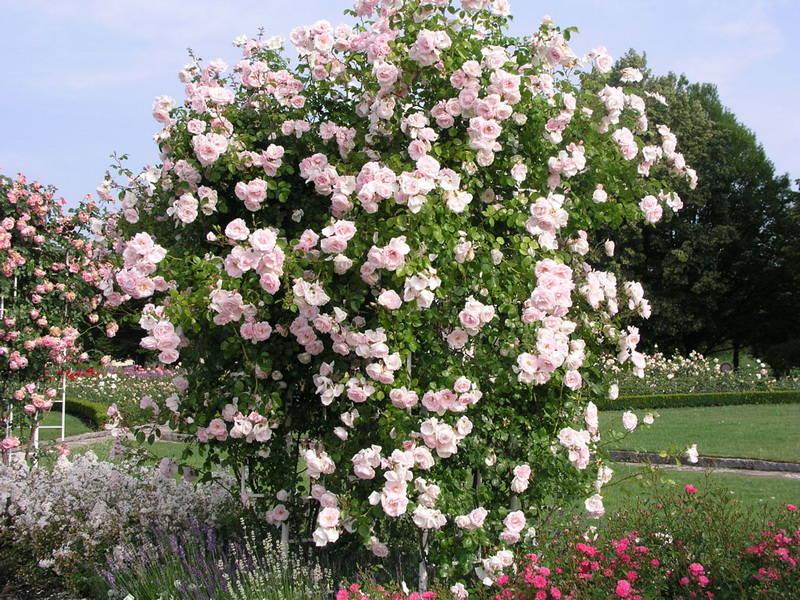 8796 New Dawn красиво цветущая плетистая роза
