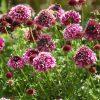 8555 Растение скабиоза кавказская
