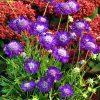8550 Растение скабиоза кавказская