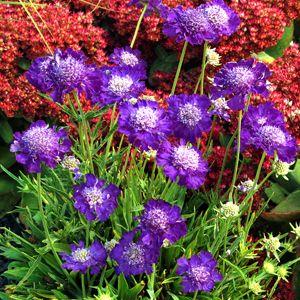 Растение скабиоза кавказская