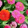 Растение Циннии - красочная палитра цветов фото - wzz 100x100
