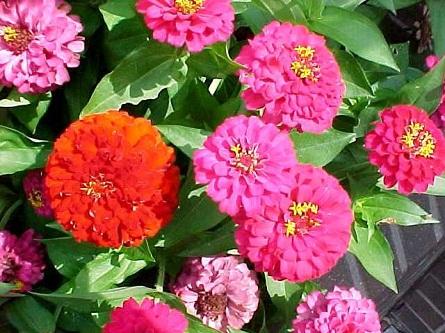 Растение Циннии – красочная палитра цветов