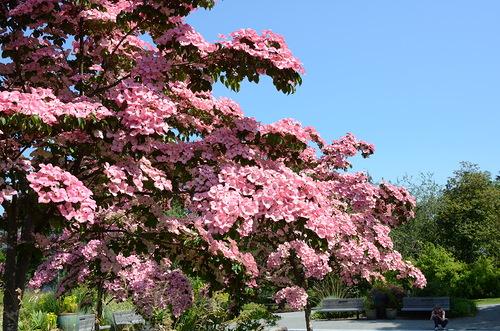Красив в любое время года – дерен цветущий