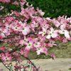 9011 Красив в любое время года - дерен цветущий