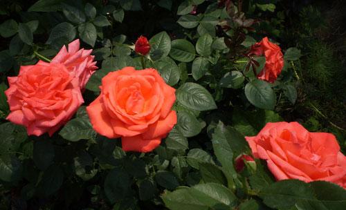Роза Super Star – лососево-оранжевая окраска