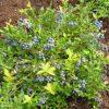 Вкусные  ягоды для сада, голубика высокорослая фото - zzy 100x100