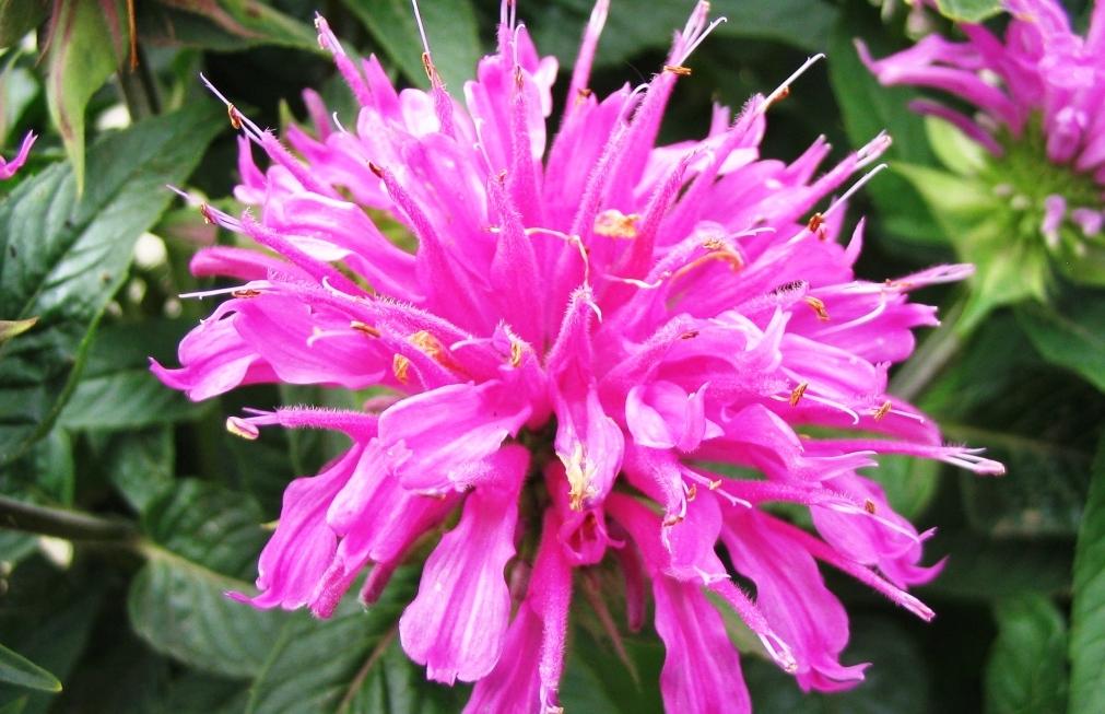 Монарды цветов