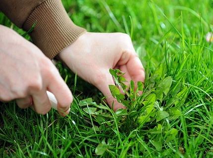 Первая помощь, сорняки на газоне
