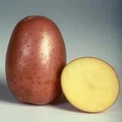 Картофель, сорт Бела Роса.