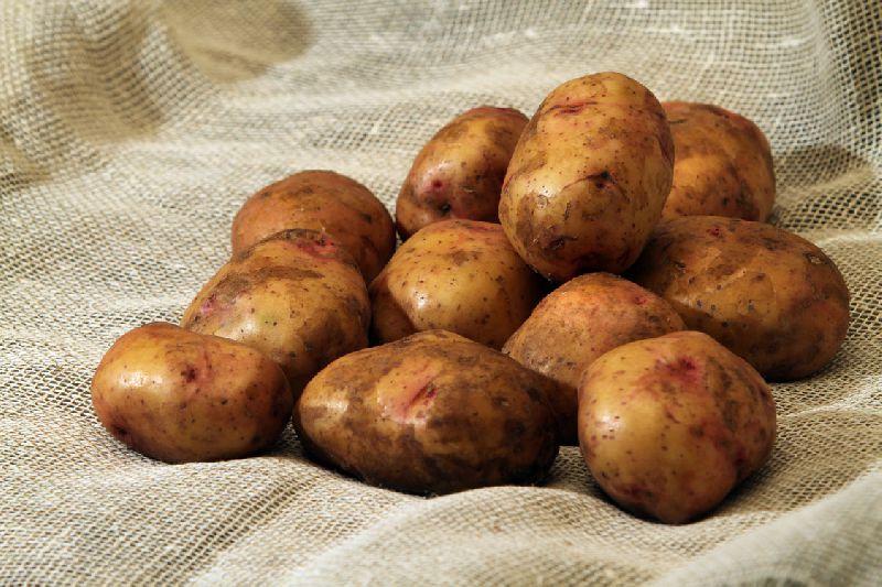 Картофель, сорт Свитанок киевский.