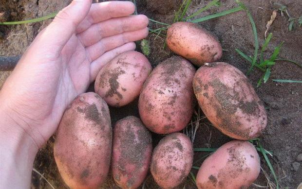 Картофель, сорт Славянка.