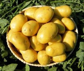 Картофель, сорт Наташа.